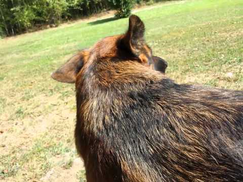 How To deShed your German Shepherd Dog