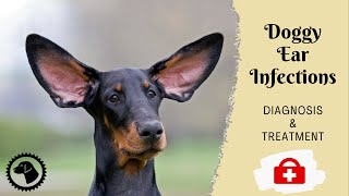 Frequent Dog Ear Infections | DOG HEALTH 🐶 Brooklyn's Corner