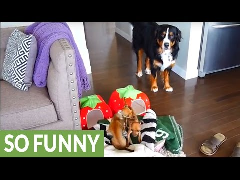 Crazy chihuahua puppies irritate Bernese Mountain Dog