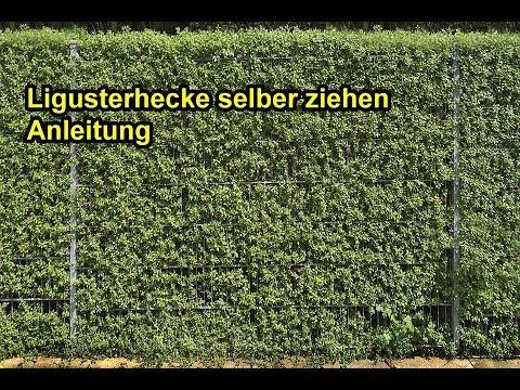 ligusterhecke selber ziehen liguster druch stecklinge vermehren pflanzen anleitung