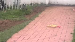Bullterrier Kills Chicken