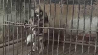 Гиеновидные собаки играют