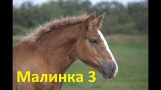Малиновка. Продолжение оповоживания. Третий урок дикой лошади.