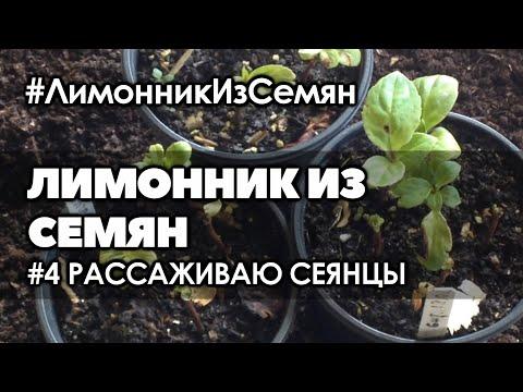 🌱  #4  Рассаживаю сеянцы лимонника   Лимонник китайский выращивание из семян от и до.