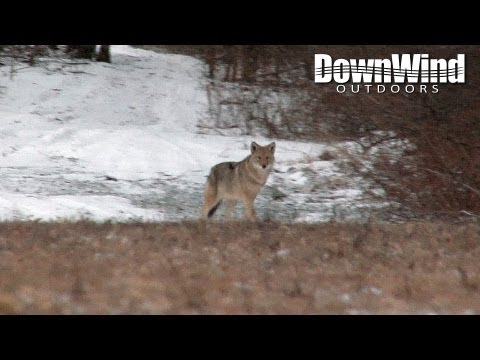 coyote-hunting-with-ar-15:-the-distraction-(downwind-outdoors)