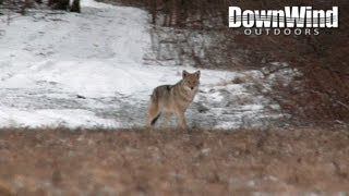 Coyote Hunting with AR-15: The Distraction (DownWind Outdoors)