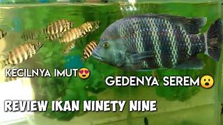 Download Lagu Ikan 99? review ikan ninety nine mp3