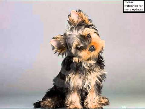 Yorkshire Terrier Dogs   Dog Breed Yorkshire Terrier Picture Collection Ideas