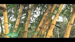 BAMBOO FARMING IN KENYA PART 1 OF 3