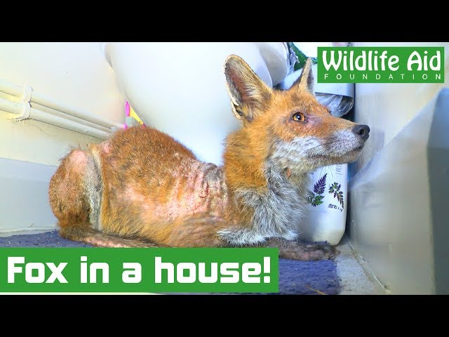 Help! There's a fox in my bathroom!