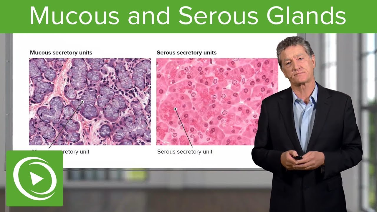 Mucous and Serous Glands – Histology | Lecturio