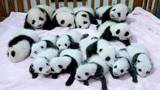 В Китае показали сразу 14 новорожденных детенышей пан...(В Китае показали сразу 14 новорожденных детенышей панды - Новости. День - Интер - 24.09.2013 In China shown immediately 14 newborn..., 2013-09-24T12:26:23.000Z)