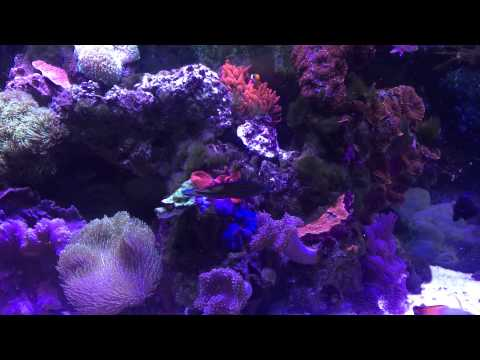 Leopard wrasse and wrasse tank - chaoti, ornate, blue star, black, potters, regular and other wrasse