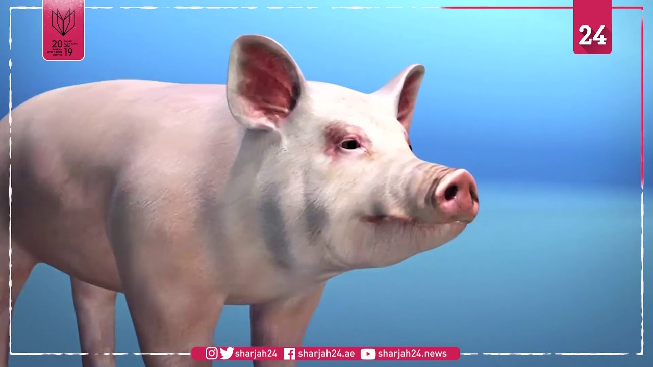 Sintomas ng african swine fever