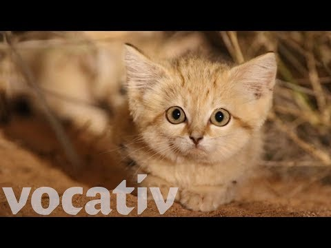 Rare Video Footage Of Elusive Sand Kittens In Africa