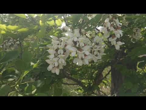 Как называется это растение, и даёт ли нектар?
