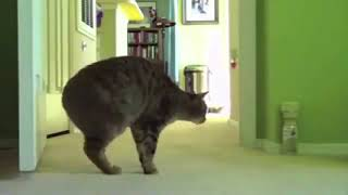 Бешеные коты видео приколы