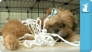 Shih Tzu Puppies Basketball - Nothing But Net! - Puppy Love