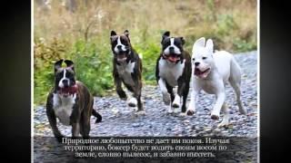 Боксер Средние породы собак