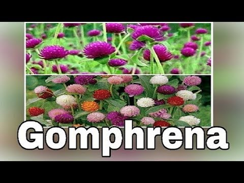 HOW TO GROW SUMMER FLOWERING PLANT GOMPHRENA FROM SEEDS...