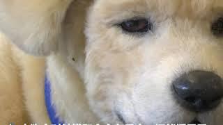机器宠物狗用无条件的爱陪伴老年痴呆症患者