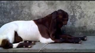 Totapari Goat for Arif Mau (U.P) (INDIA) 23/7/2016,