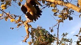 bay chim cu gay, bẫy chim cu gáy, bổi Trơn Lở cao số (gặp Cắt)