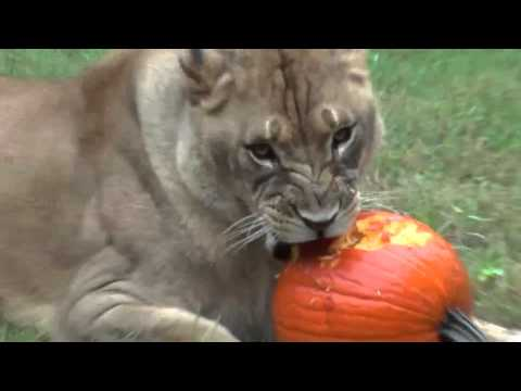 Lions and Tigers Play with Pumpkins Like They're Cat Toys