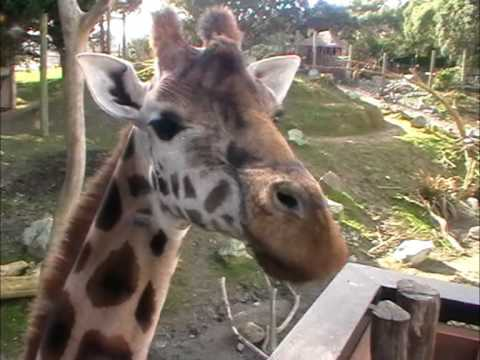 Thumbnail: Giraffe Encounter - Wellington Zoo - New Zealand
