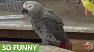 Parrot dances better than most people do!