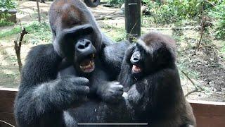 父に挑み続ける長男 2018⭐️ゴリラ gorilla【京都市動物園】Gentaro keeps challenging his father gorilla thumbnail