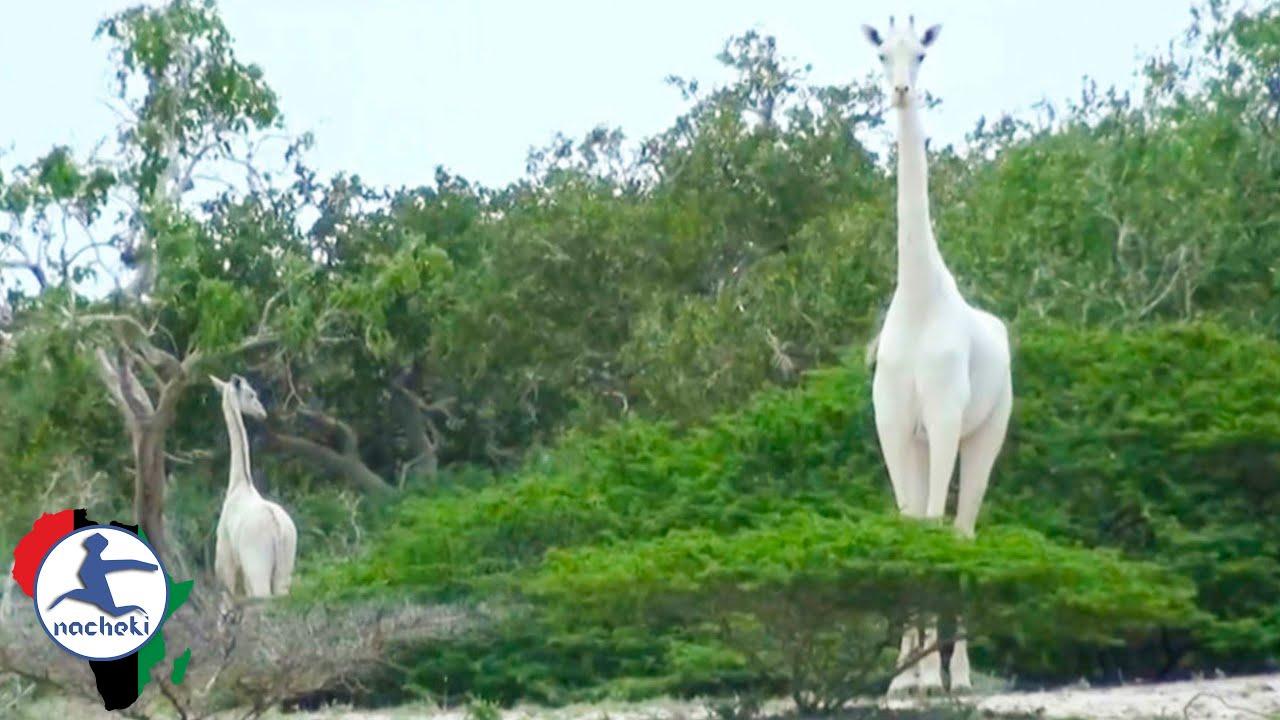 Two rare white giraffes killed in Kenya