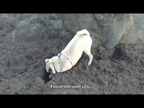 Aron the Pug digs an very important hole