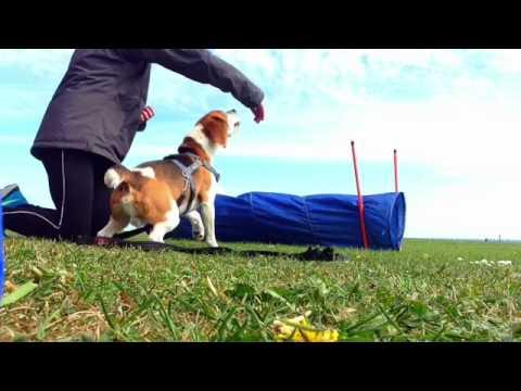 Beagle agility! My amazing beagle!