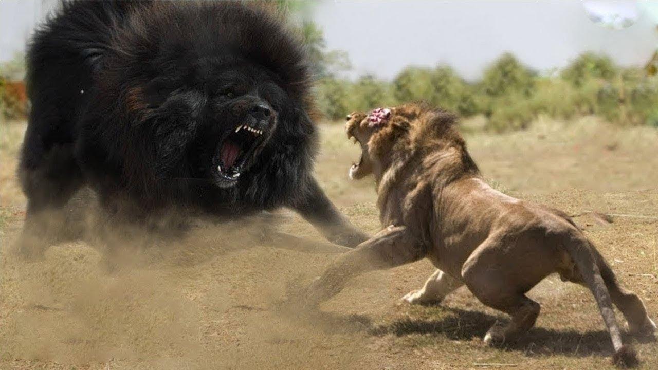 اقوى كلب في العالم يستطيع هزيمة الاسد