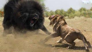هذا اقوي كلب في العالم يستطيع القضاء علي الاسد بكل سهولة .. الماستيف التبتي !