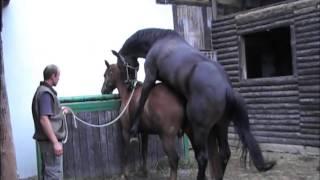 Připouštění koní z ruky
