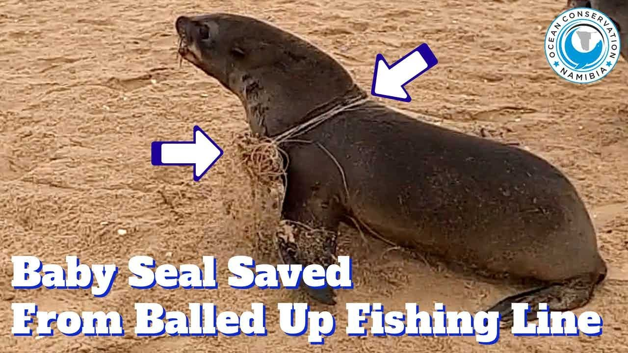 Baby Seal Saved From Balled Up Fishing Line