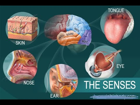 Anatomy and Physiology of Smell Taste Touch