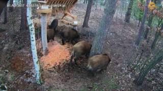 Dziki rankiem w karmisku dla zwierząt w lesie na Podkarpaciu