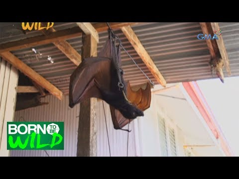 Born to Be Wild: Rescuing a Large Flying Fox