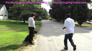 City Living Dog; Behavior Modification And Training Of Max The Boxer Jumping At Joggers