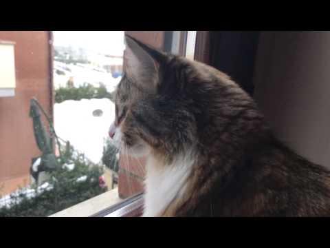 Siberian cat chirping at birds