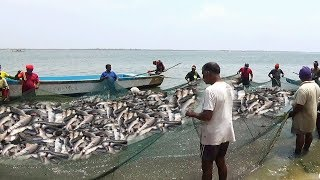 Awesome Traditional Net Fishing Video! Amazing Fish Hunting! Biggest  Lake in India