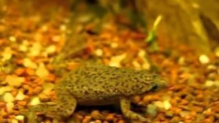 Hymenochirus boettgeri   карликовая аквариумная лягушка