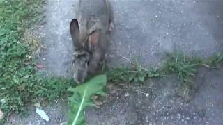 07-06-18 REALLY FRIENDLY BUNNY IN MY YARD THIS MORNING (Maybe lost pet?)