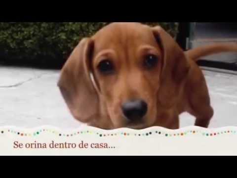 Como Educar A Un Salchicha Entrenamiento De Perro Salchicha Youtube