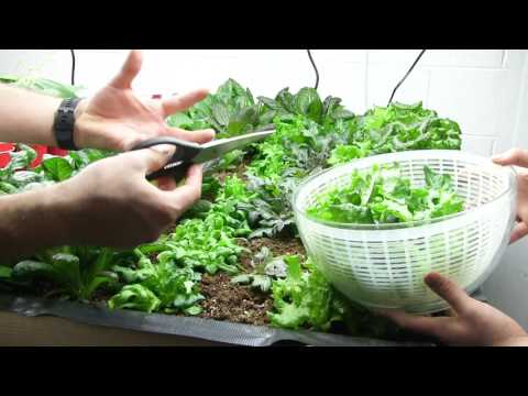 Large Harvest From the 100% Indoor Organic Garden