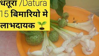 Benefits of Datura plant // दंग  कर देगे आपको धतूरे से होने वाले लाभ।