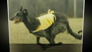 Дирхаунд Крупные породы собак